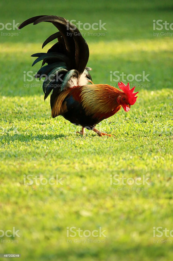 Colorful brown rooster in the farm stock photo