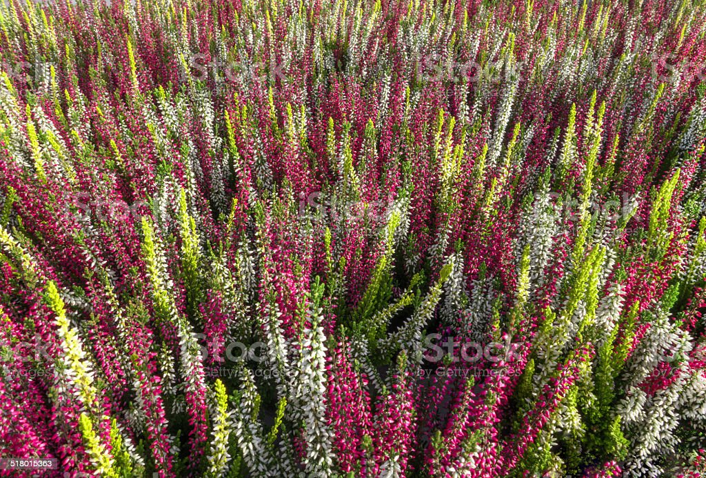 Colorful bud heather - Calluna vulgaris royalty-free stock photo