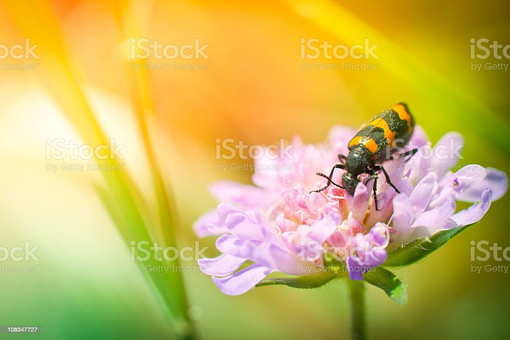 Colorful bug on wildflower during sunset royalty-free stock photo
