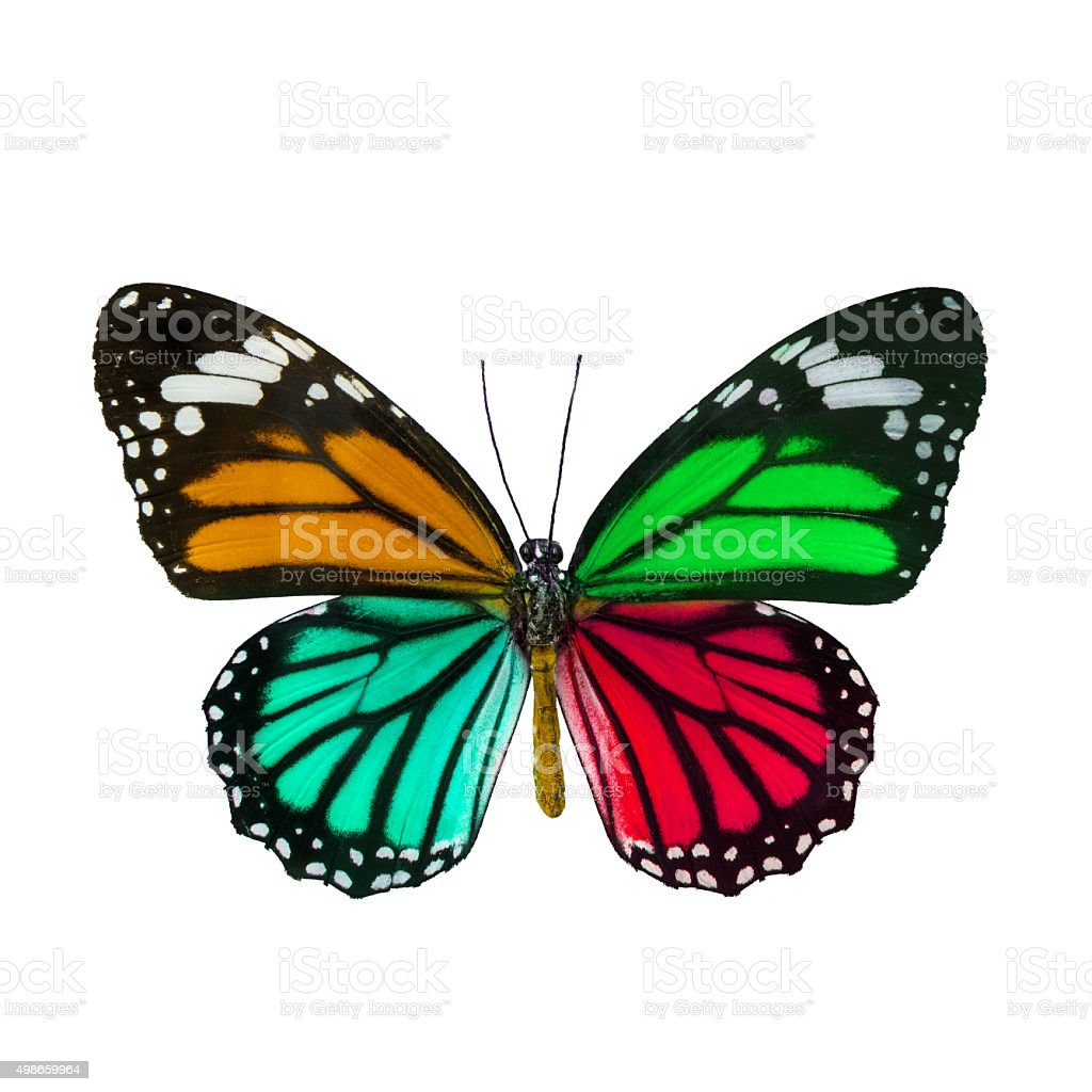 Colorful butterfly , Danaus Genutia , monarch butterfly isol stock photo