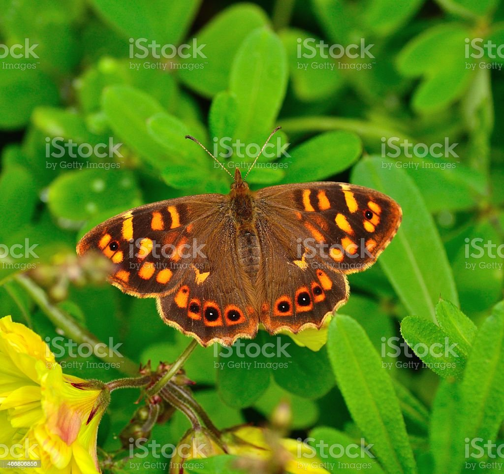 Colorful butterfly pararge xiphiodes, endemic specie of Canary islands stock photo