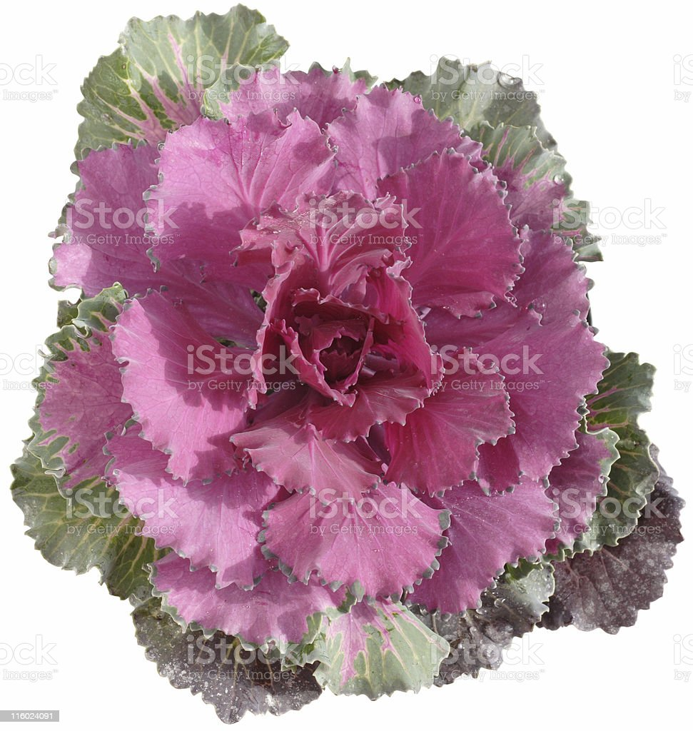 colorful cabbage (winter cale), isolated royalty-free stock photo