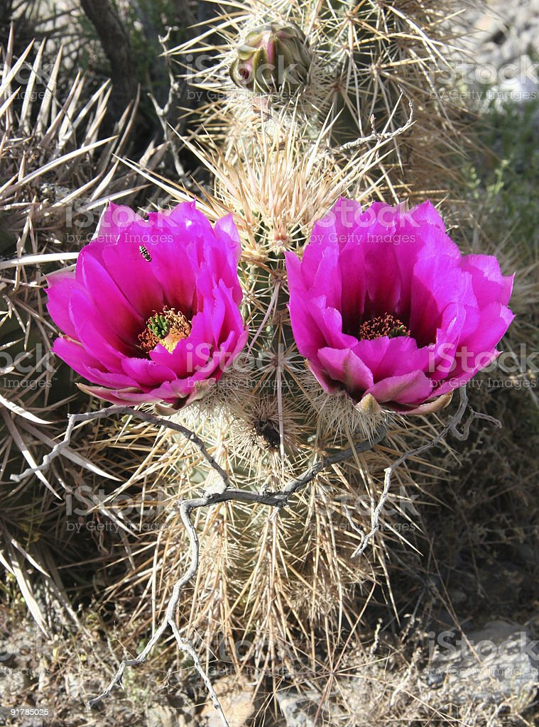 Colorful cacti royalty-free stock photo