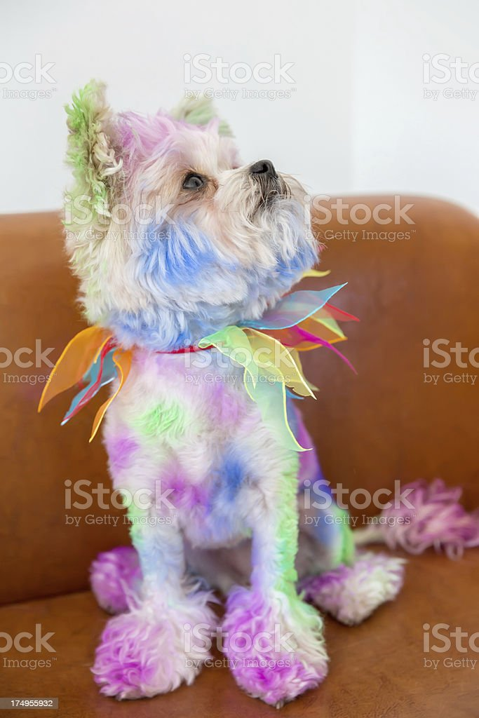 Colorful Canine: Designer dog colored for halloween royalty-free stock photo