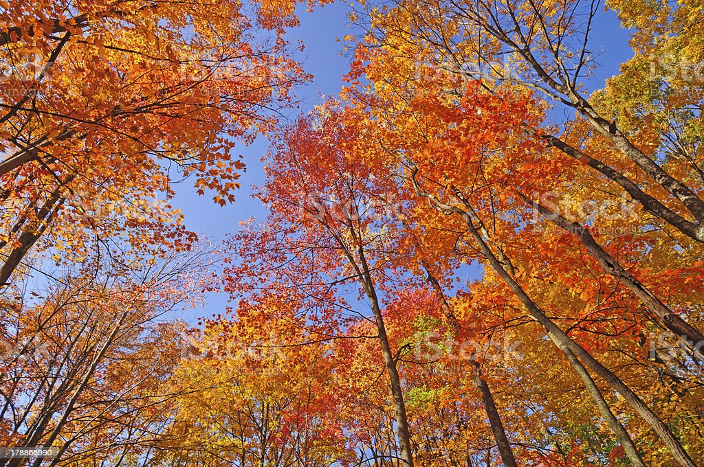 Colorful Canopy in the Fall stock photo
