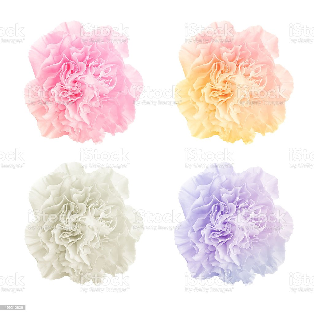 colorful carnations on white background stock photo
