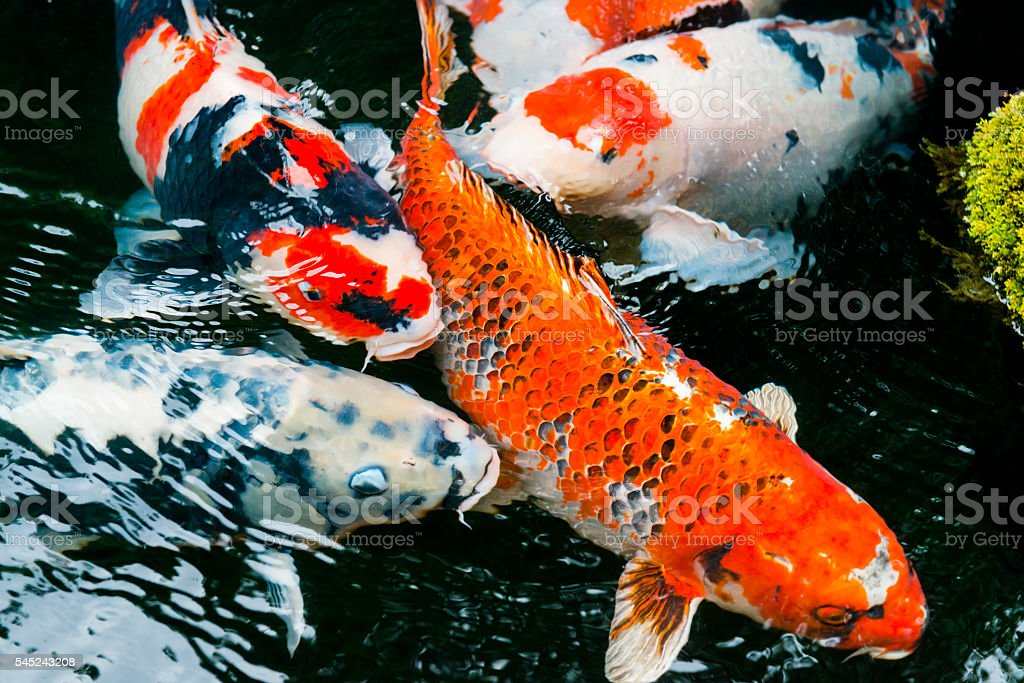 Colorful Carp Swimming in Traditional Japanese Koi Pond Kyoto Japan stock photo