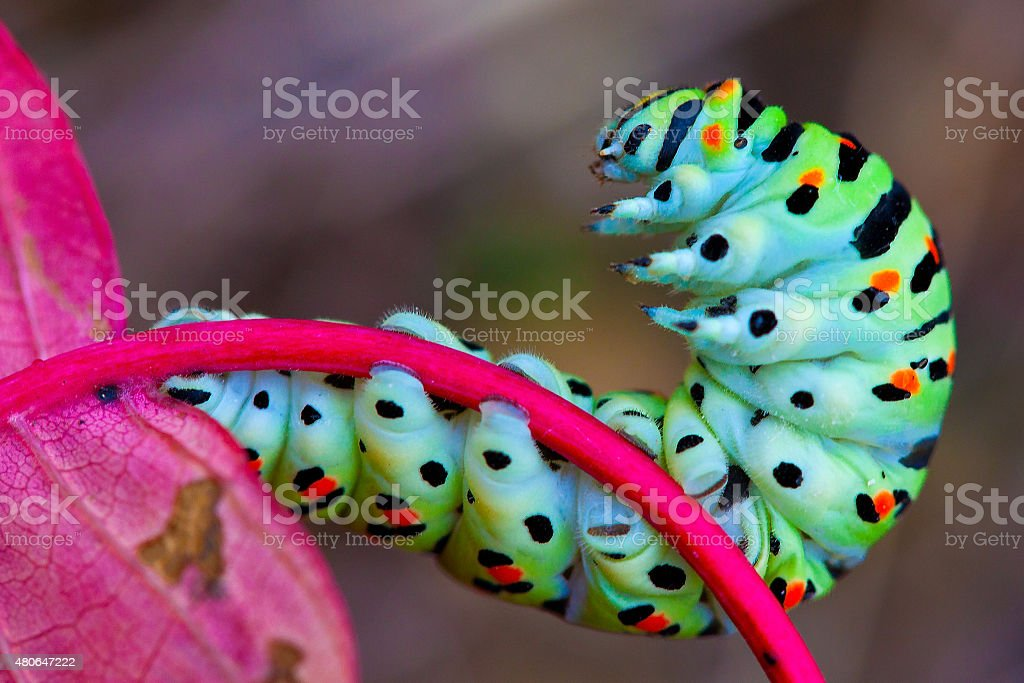 Colorful caterpillar on the red leaf stock photo