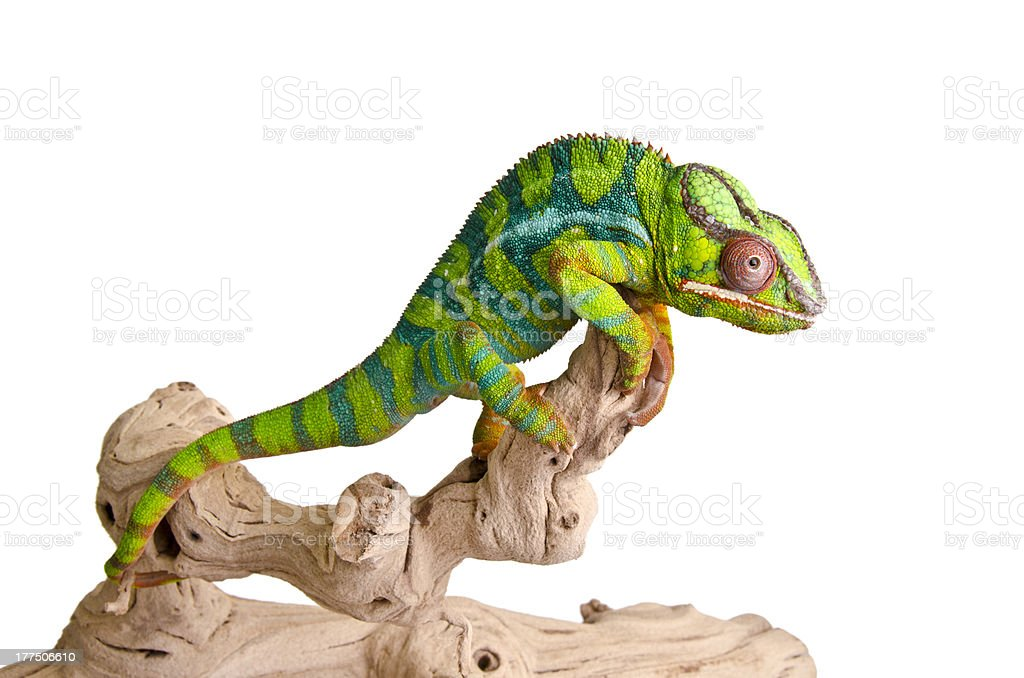 Colorful chameleon stock photo