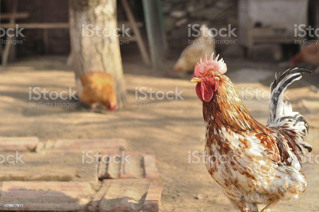 Kolorowy Kurczak rooster, że jest Patrzeć do kamery zbiór zdjęć royalty-free