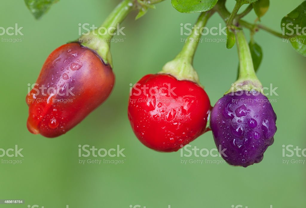 Colorful Chili Peppers stock photo