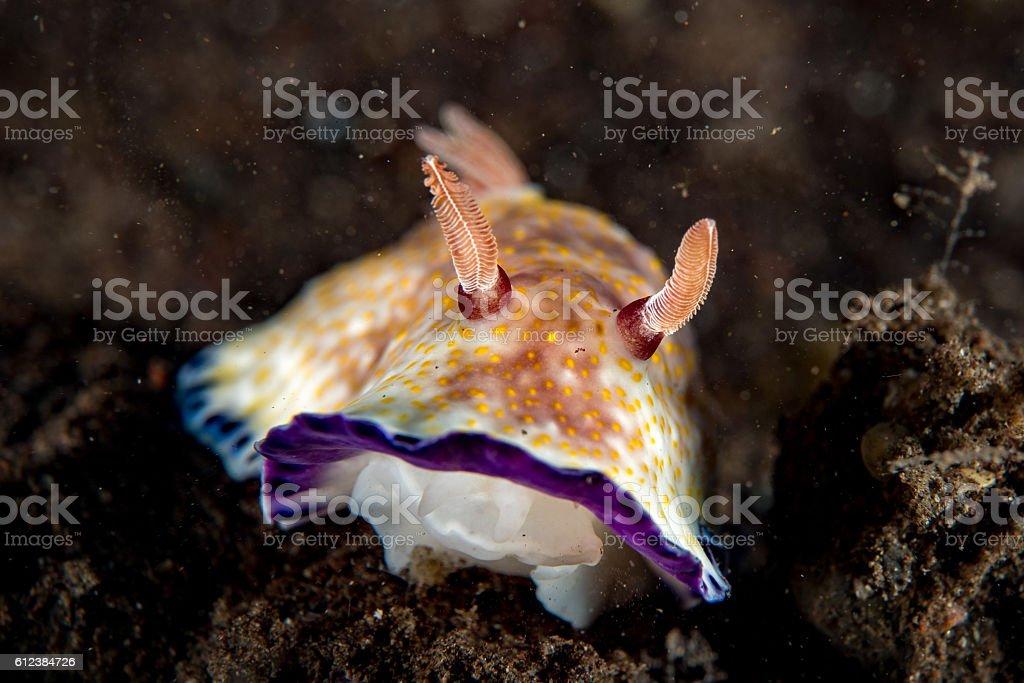 Colorful chromodoris nudibranch close up macro detail in indonesia stock photo