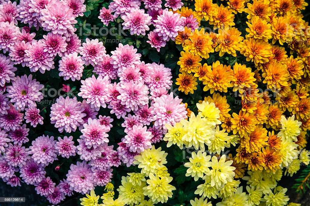 colorful chrysanthemum flower stock photo
