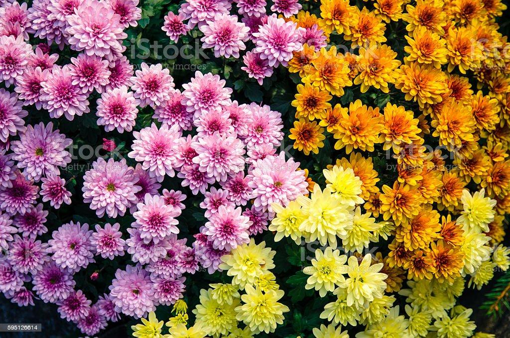 colorful chrysanthemum flower stock photo