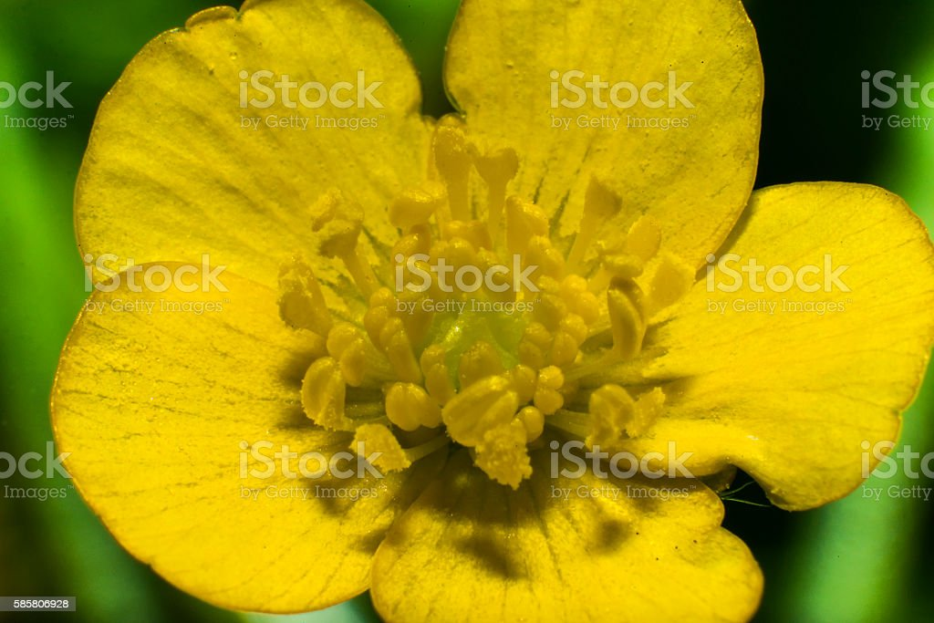 Colorful close-up shot of a flower Ranunculus stock photo
