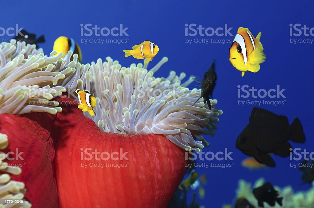 Colorful Clownfishes stock photo