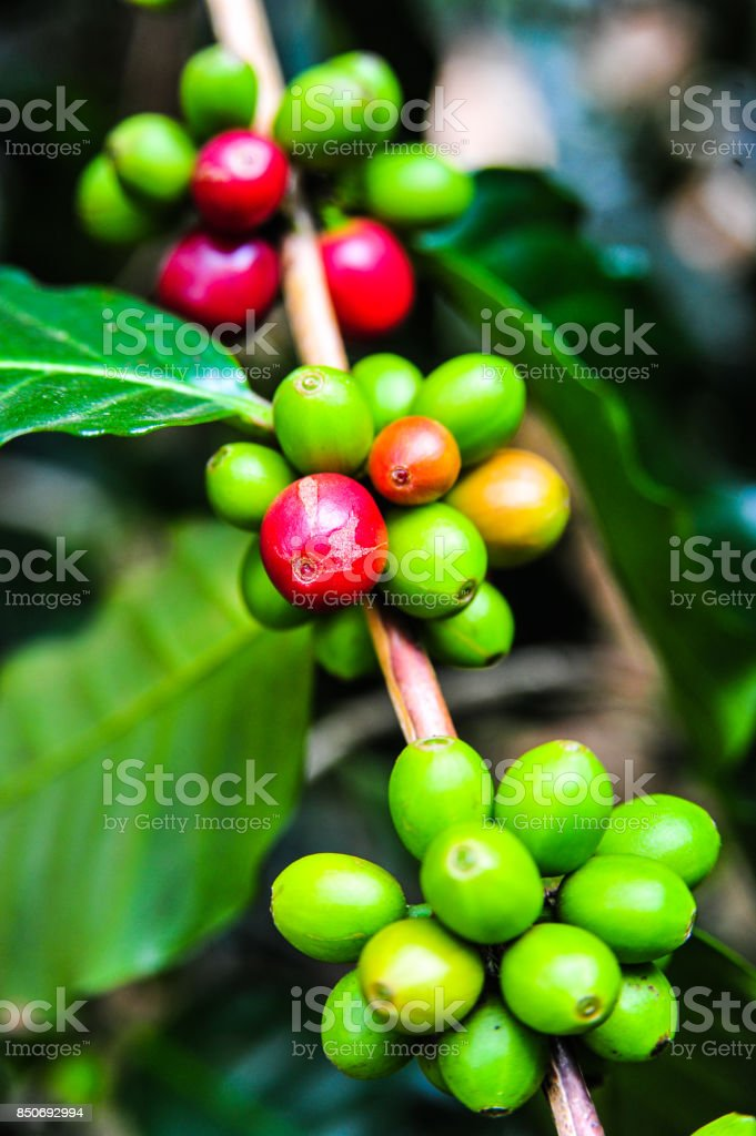 Colorful color of coffee beans on tree branch stock photo
