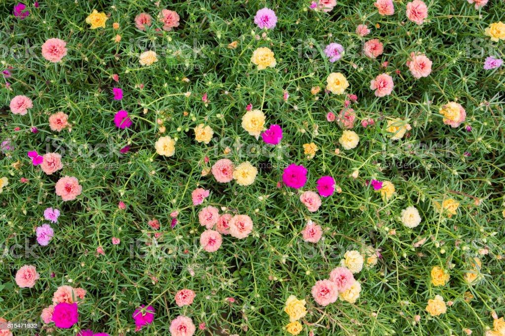 Colorful Common Purslane flowers stock photo