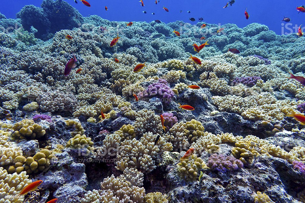 colorful coral reef at the bottom of tropical sea stock photo