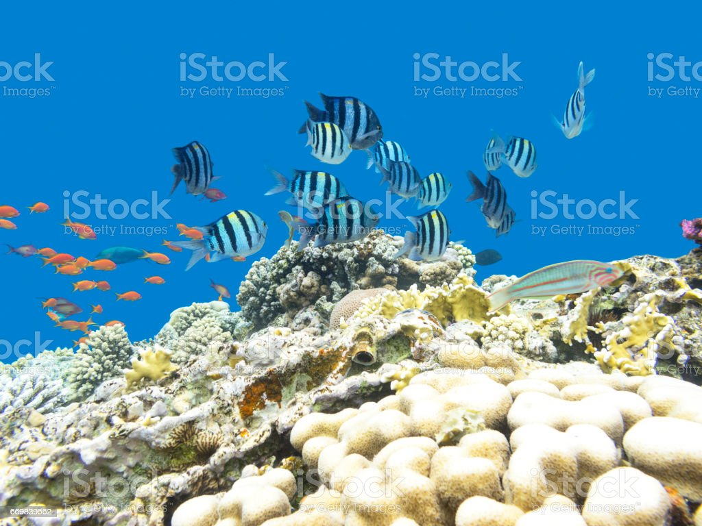 Colorful coral reef with shoal of fishes damselfish (Sergeant major) and scalefin anthias at the bottom of tropical sea, underwater stock photo