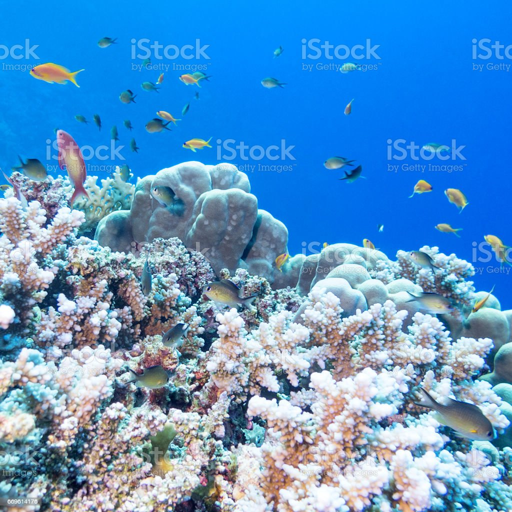 Colorful coral reef with shoal of fishes scalefin anthias at the bottom of tropical sea, underwater stock photo