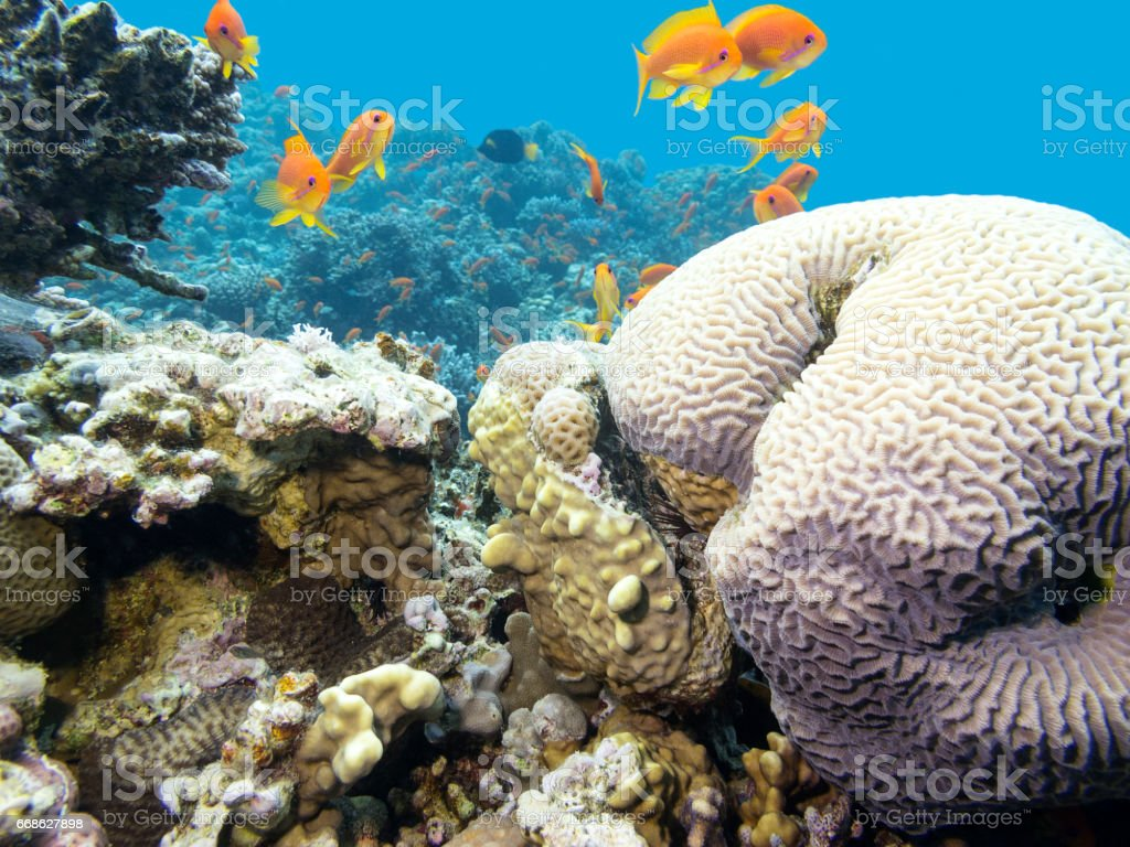 Colorful coral reef with shoal of fishes scalefin anthias in tropical sea stock photo
