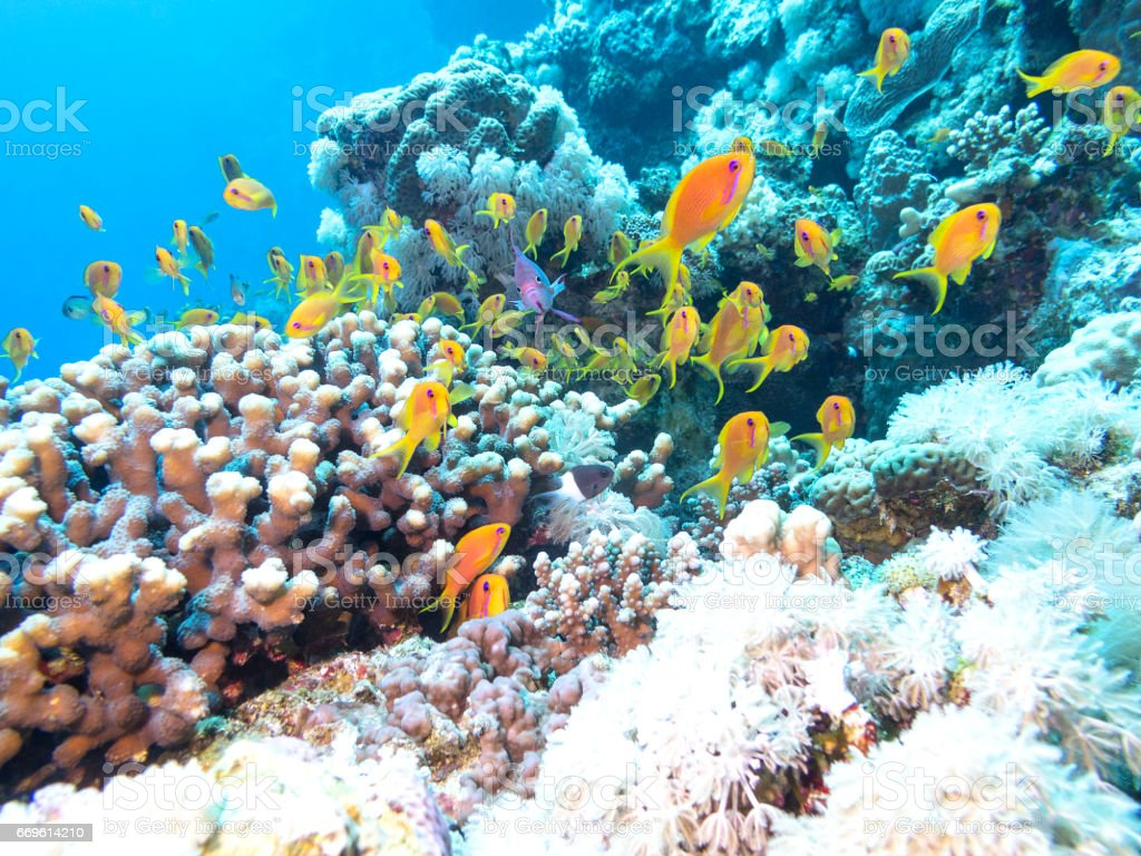 Colorful coral reef with shoal of fishes scalefin anthias in tropical sea, underwater stock photo