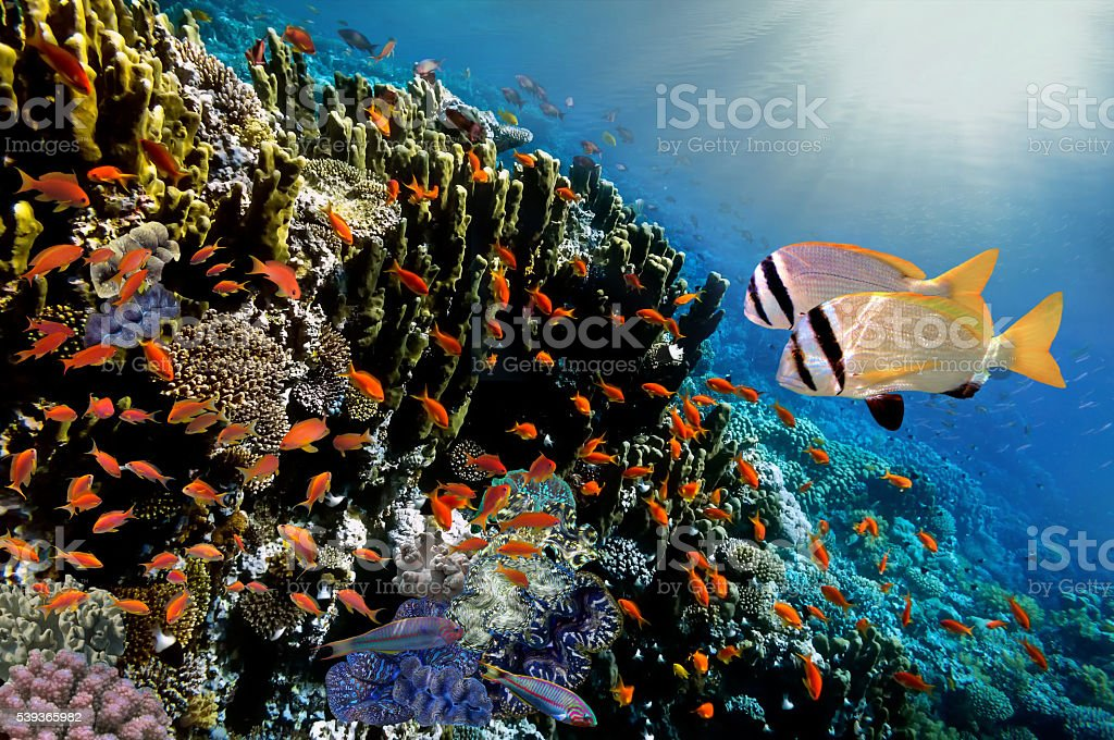 colorful coral reef with shoal of fishes scalefin anthias stock photo