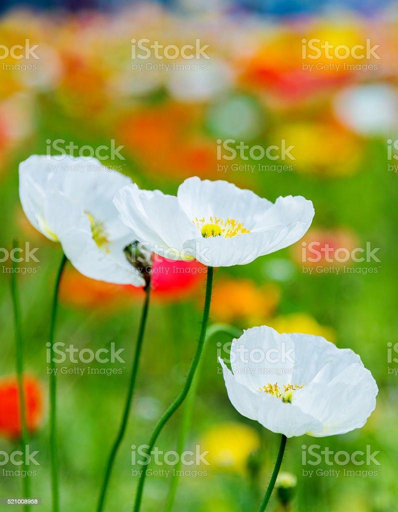Colorful corn poppy flowers stock photo