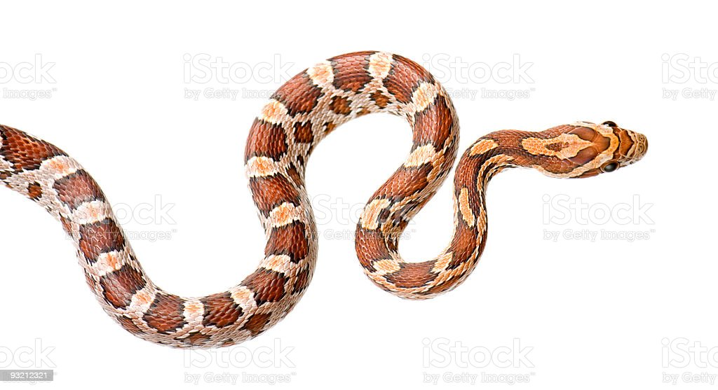 A colorful corn snake on a white background royalty-free stock photo