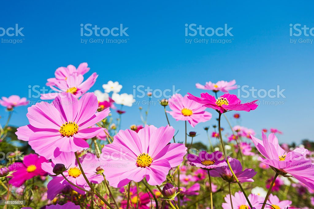 Colorful Cosmos Flowers Against Clear Blue Sky stock photo