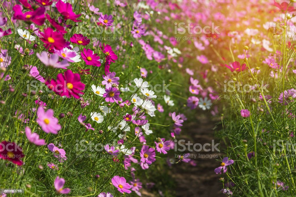 colorful cosmos flowers blooming stock photo