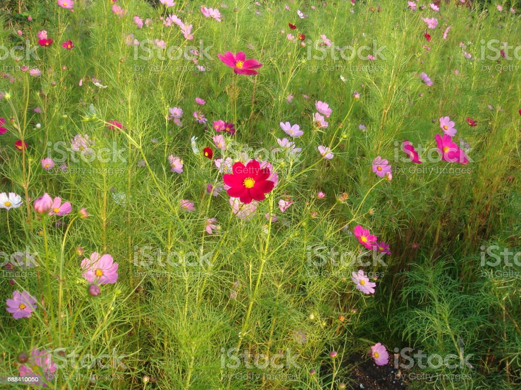 Colorful cosmos flowers on a green meadow in summer stock photo