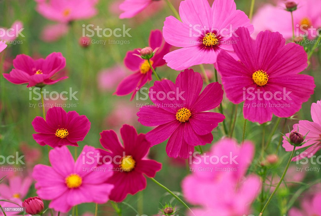Colorful Cosmos Flowers stock photo