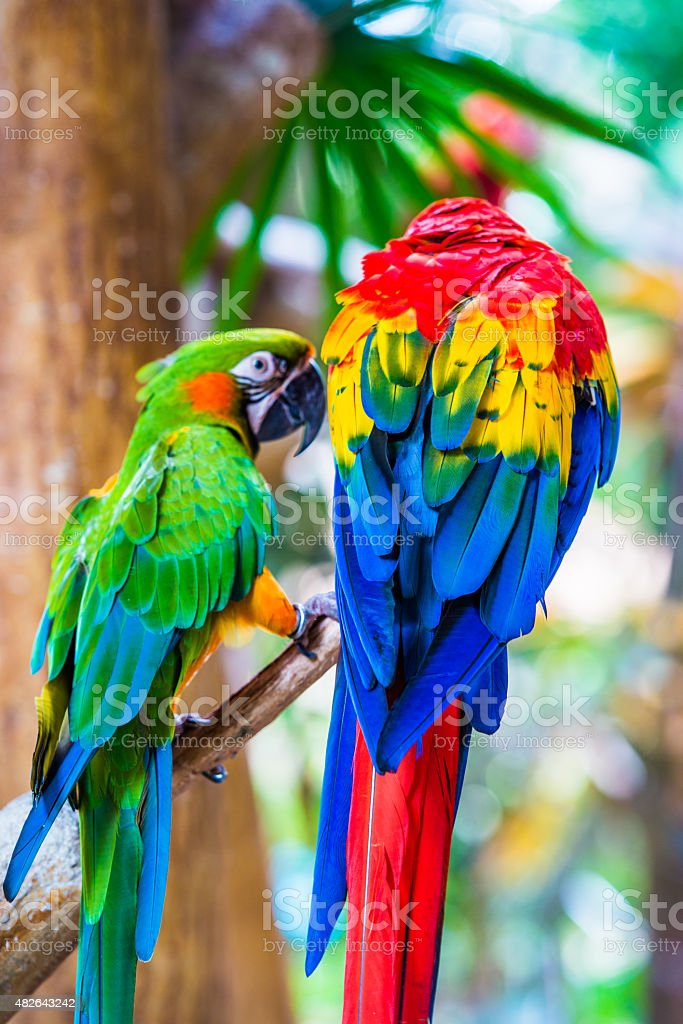 Colorful couple macaws sitting on log stock photo