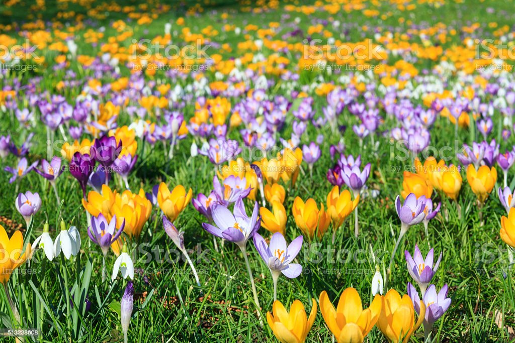 Colorful crocus on a meadow in spring stock photo