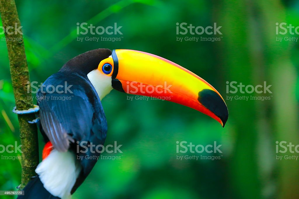 Colorful cute Toucan tropical bird in Brazilian Amazon – blurred background stock photo