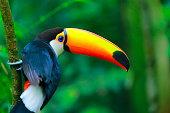 Colorful cute Toucan tropical bird in Brazilian Amazon – blurred background