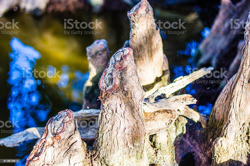 Colorful Cypress Roots stock photo