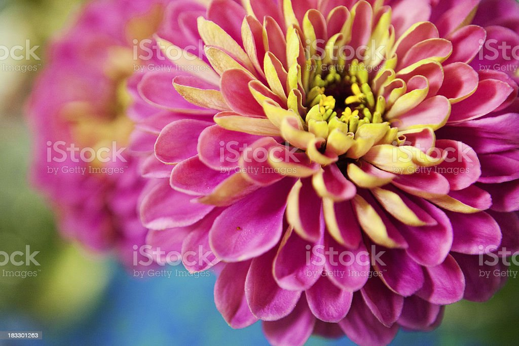 colorful dahlia royalty-free stock photo