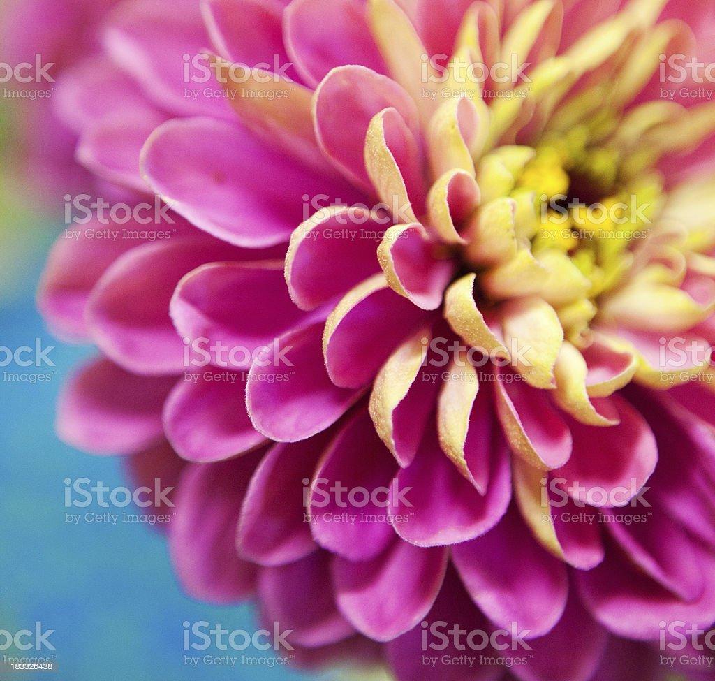 colorful dahlia royalty-free stock photo