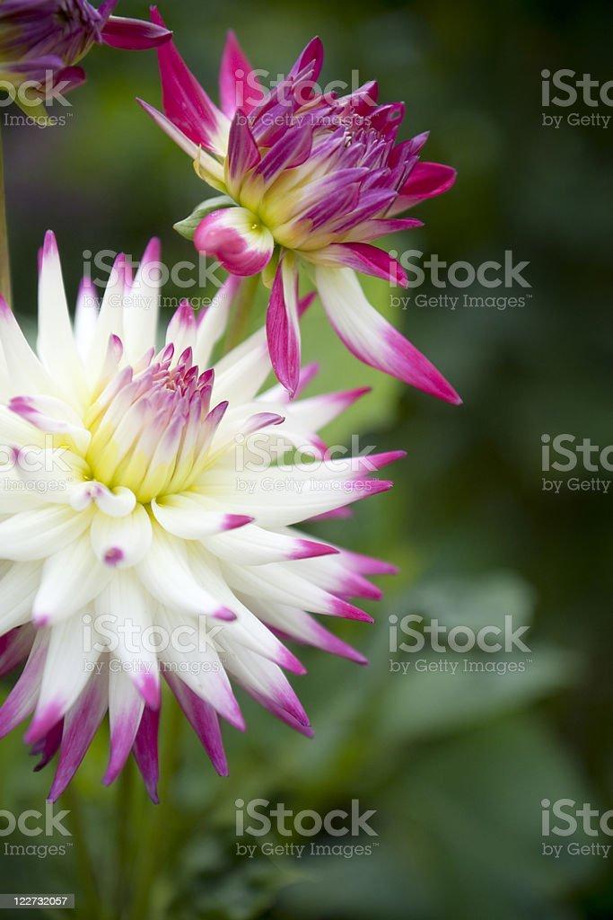 Colorful dahlias stock photo