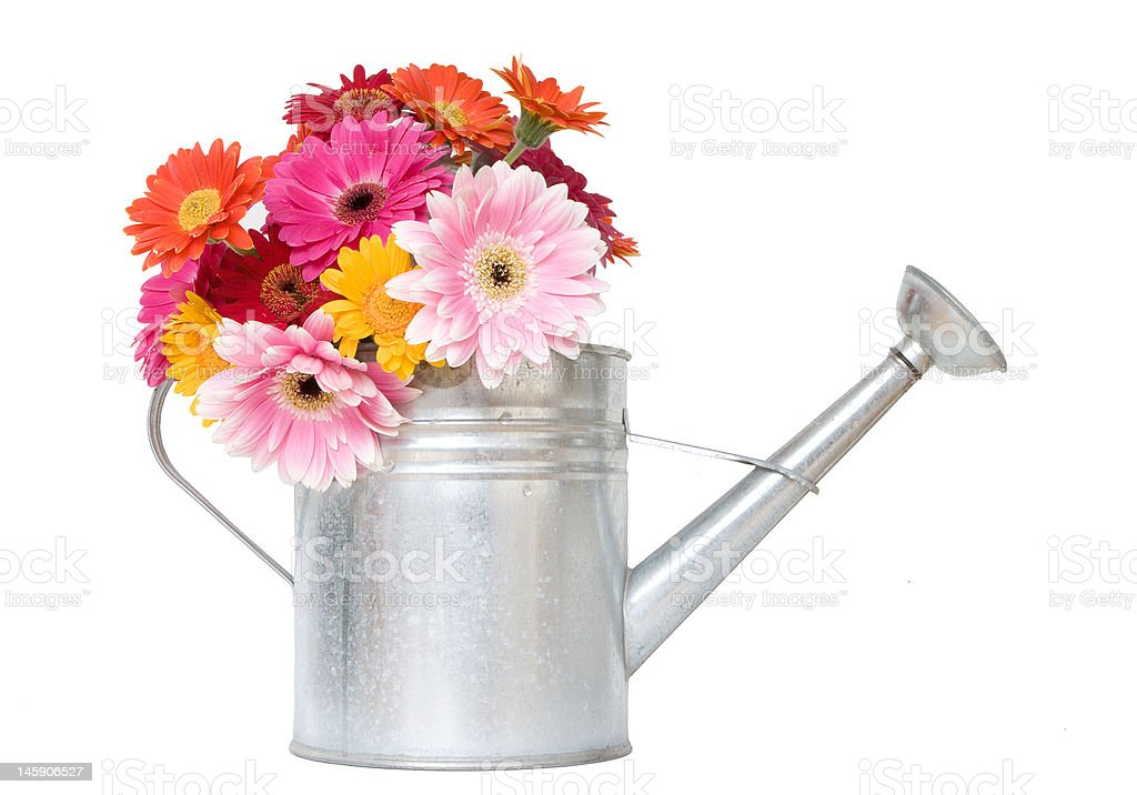 colorful daisies in metal watering can - isolated on white stock photo