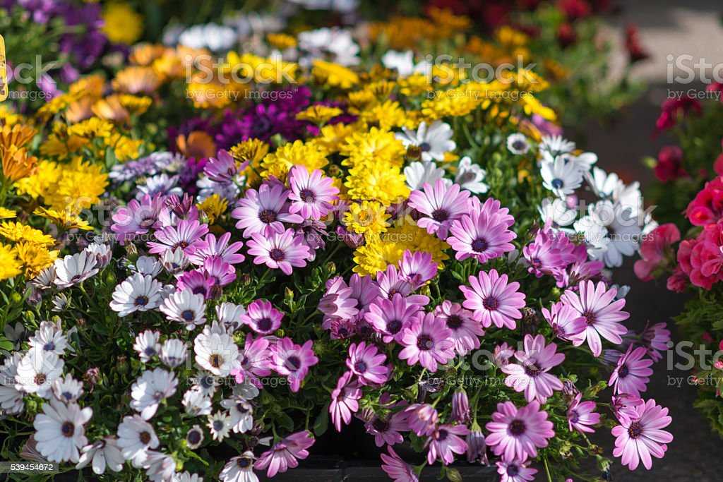 colorful daisy flowers on a market stall stock photo