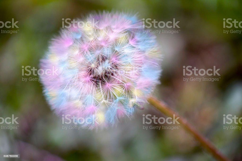 Colorful Dandelion stock photo