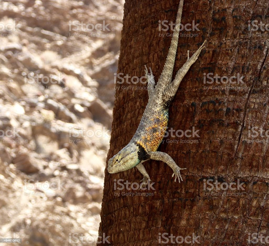Colorful Desert Spiny Lizard on Palm Tree with Desert Back-round stock photo