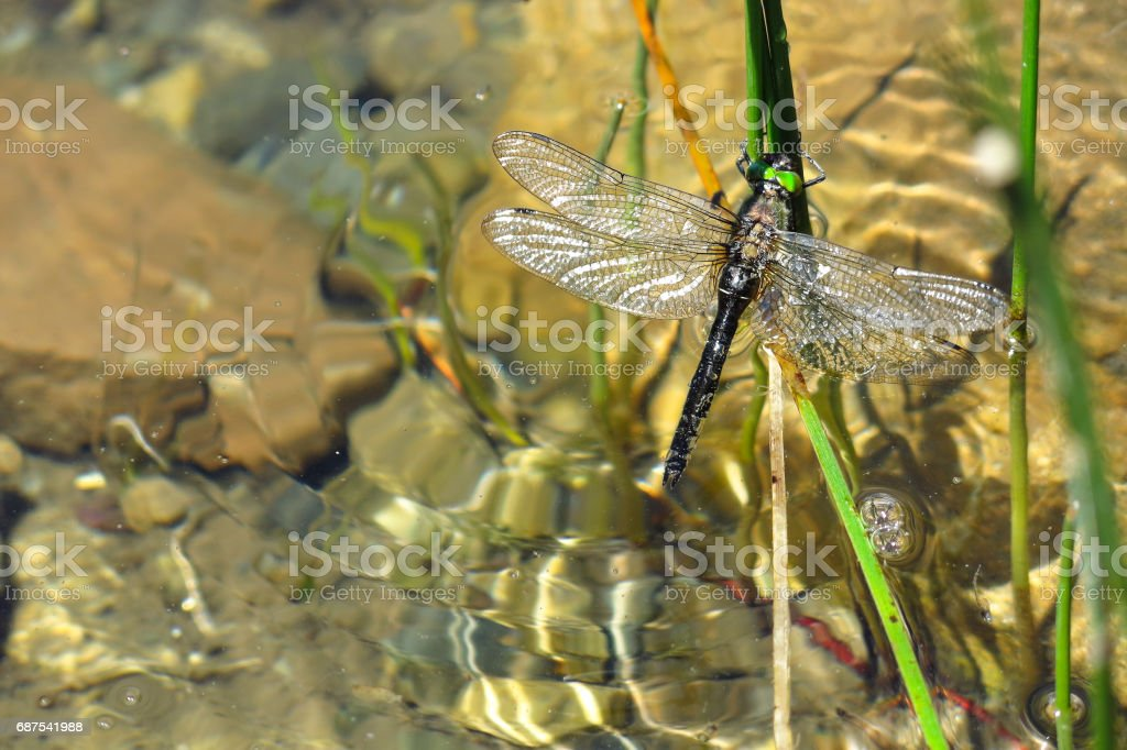 Colorful dragonfly in the water. Aran valley stock photo