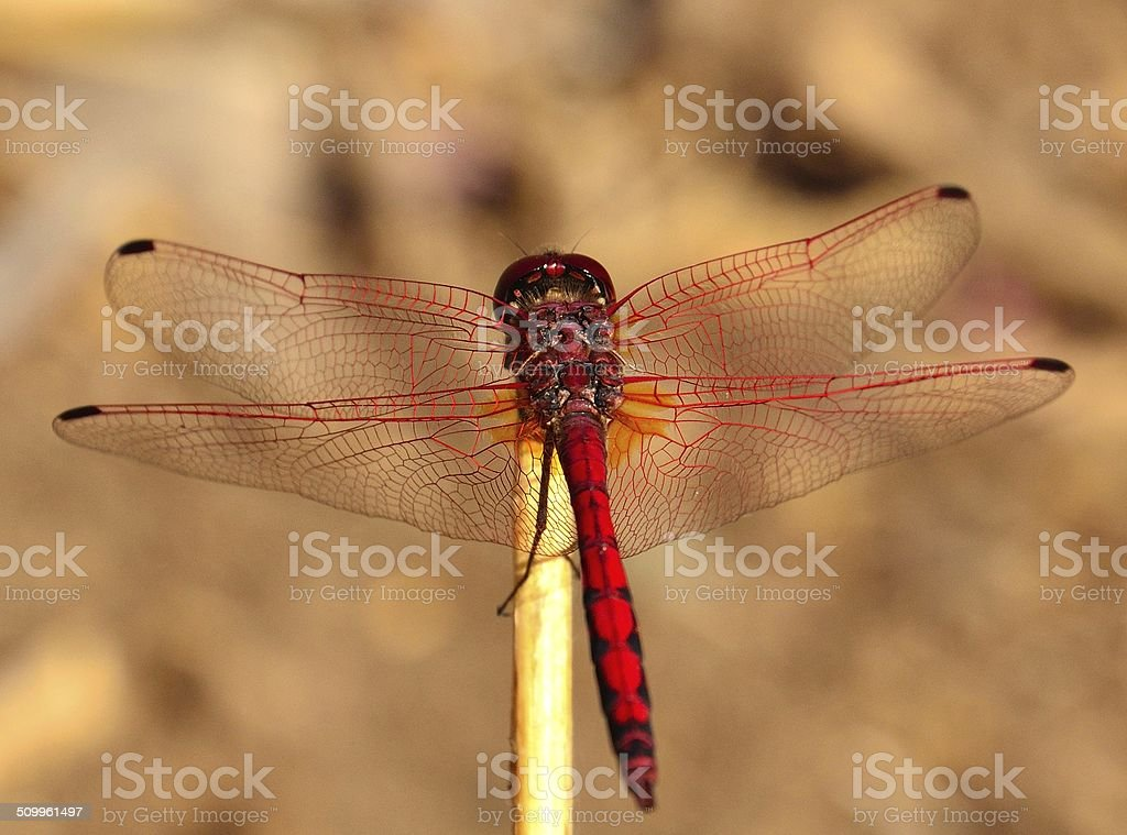 Colorful dragonfly sympetrum sanguineum stock photo