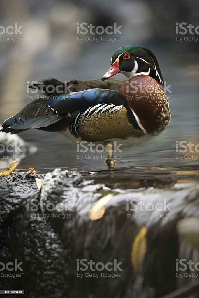 Colorful drake wood duck and autumn waterfall. stock photo