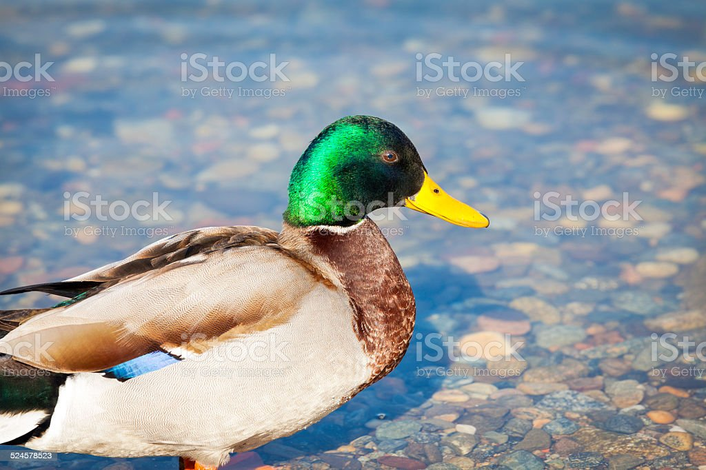 Colorful duck. Color image stock photo